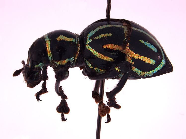 Pachyrhynchus Inconceivable Weevils Part II The Befuddled Loris