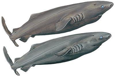 Pacific sleeper shark Pacific Sleeper Shark Shark Research Institute