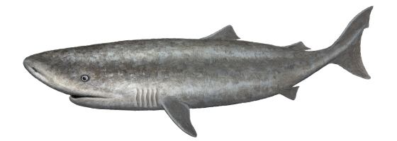 Pacific sleeper shark Pacific Sleeper Shark Oceanscape Network