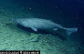 Pacific sleeper shark Pacific Sleeper Sharks Somniosus pacificus MarineBioorg