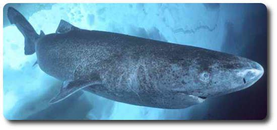 Pacific sleeper shark Learn All About Sharks Like Pacific Sleeper Sharks Shark Sider