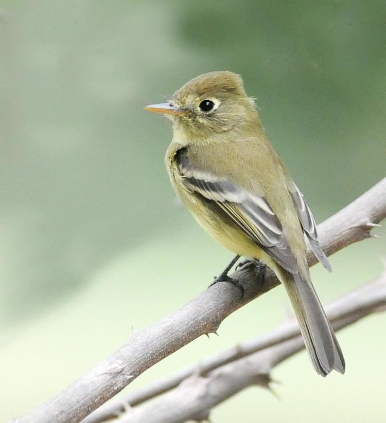 Pacific-slope flycatcher BirdsEye Photography Review Photos