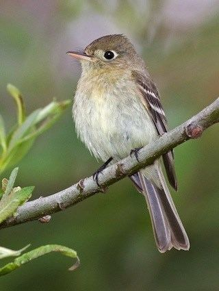 Pacific-slope flycatcher Pacificslope Flycatcher Identification All About Birds Cornell
