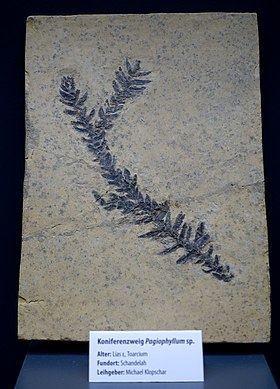 Pagiophyllum httpsuploadwikimediaorgwikipediacommonsthu