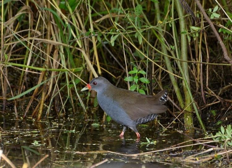 Paint-billed crake Paintbilled Crake Neocrex erythrops videos photos and sound
