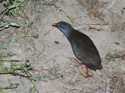Paint-billed crake More on Neocrex colombiana Colombian Crake