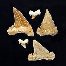 Palaeocarcharodon httpsuploadwikimediaorgwikipediacommonsthu