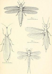 Palaeodictyoptera Palaeodictyoptera Wikipedia