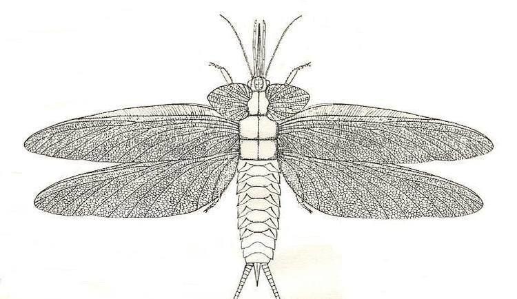 Palaeodictyoptera wings VI