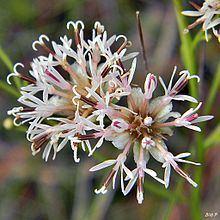 Palafoxia integrifolia httpsuploadwikimediaorgwikipediacommonsthu