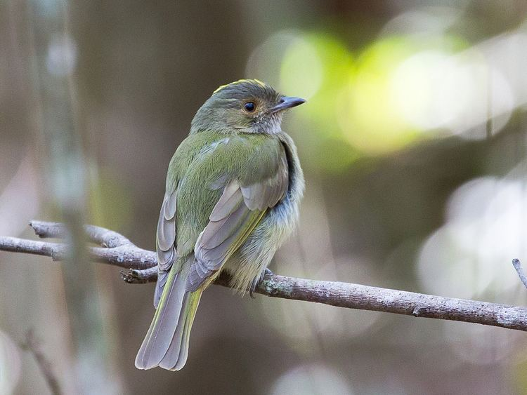 Pale-bellied tyrant-manakin httpsc1staticflickrcom4385115202197425150