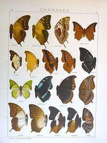 Palla (butterfly) httpsuploadwikimediaorgwikipediacommonsthu