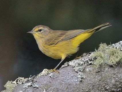 Palm warbler Palm Warbler Identification All About Birds Cornell Lab of