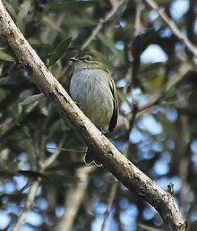 Paltry tyrannulet Paltry tyrannulet Wikipedia