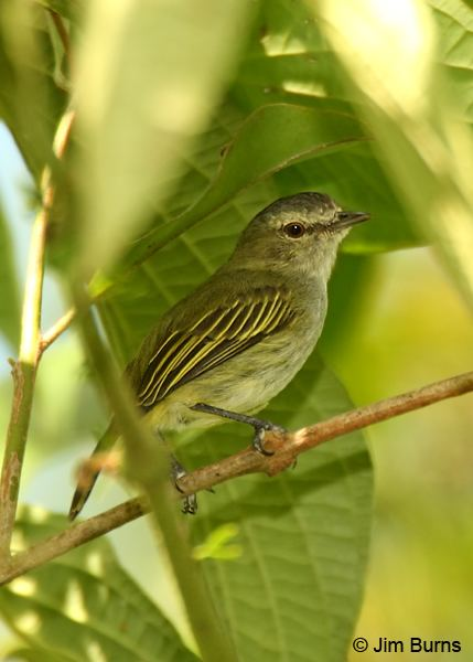 Paltry tyrannulet Costa Rica Paltry Tyrannulet