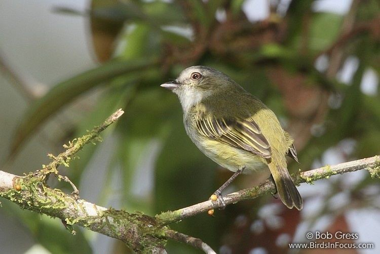 Paltry tyrannulet Birds in Focus Paltry Tyrannulet