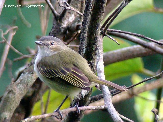 Paltry tyrannulet Paltry Tyrannulet Zimmerius vilissimus videos photos and sound
