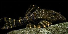 Panaqolus maccus Panaqolus maccus Clown Pleco Ringlet Pleco Tropical Fish