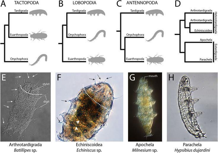 Panarthropoda Segmentation in Tardigrada and diversification of segmental patterns