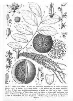 Pandaceae httpsuploadwikimediaorgwikipediacommonsthu