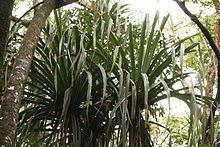 Pandanus hornei httpsuploadwikimediaorgwikipediacommonsthu