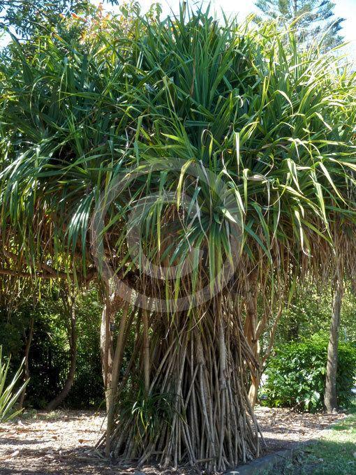 Pandanus odorifer Pandanus odorifer Fragrant Pandan Screw Pine information amp photos