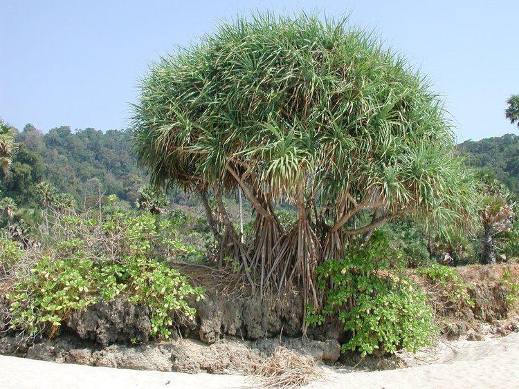 Pandanus odorifer Pandanus odorifer Images Useful Tropical Plants