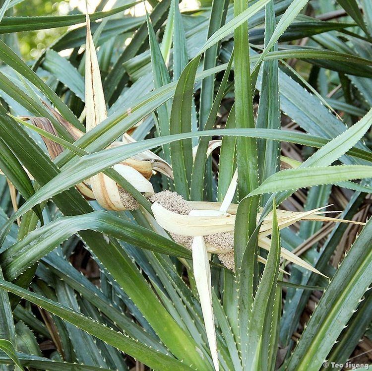 Pandanus odorifer Pandanus odorifer The Total Vascular Flora of Singapore Online