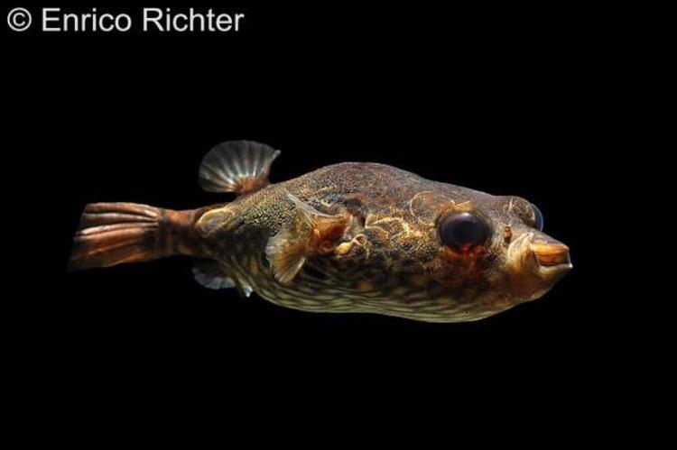 Pao palembangensis Tetraodon palembangensis Echter Palembangkugelfisch myfish