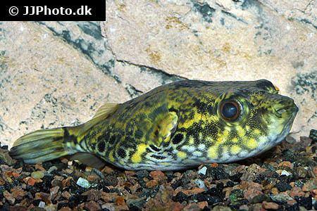 Pao palembangensis Aquariumphotodk Category Pufferfish Freshwater Image Pao