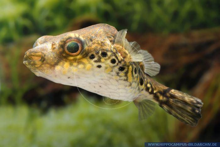 Pao palembangensis Pao palembangensis alias Humpback Puffer Hippocampus Bildarchiv