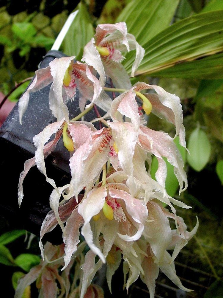 Paphinia Paphinia herrerae Ecuagenera