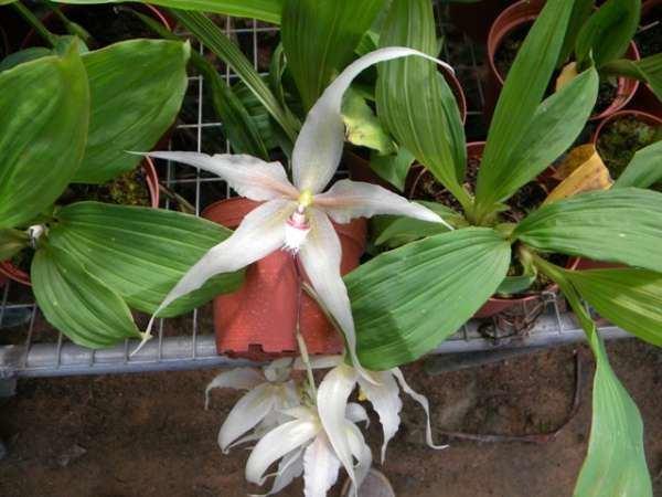 Paphinia galeriapaphinia Mundiflora Cuenca Ecuador