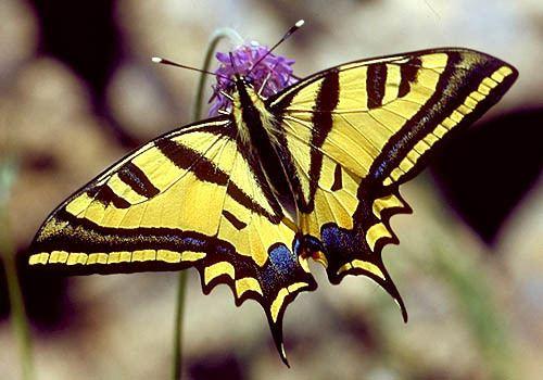 Sưu tập Bộ cánh vẩy 2 - Page 60 Papilio-alexanor-133d8a00-8112-4f50-9873-c46e6bac54a-resize-750