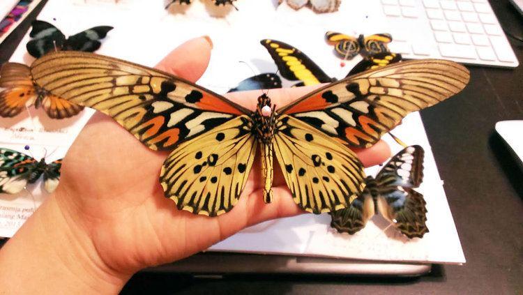 Sưu tập Bộ cánh vẩy 2 - Page 61 Papilio-antimachus-a33b8fdd-e0c8-4e49-aae4-bca82b4b6eb-resize-750