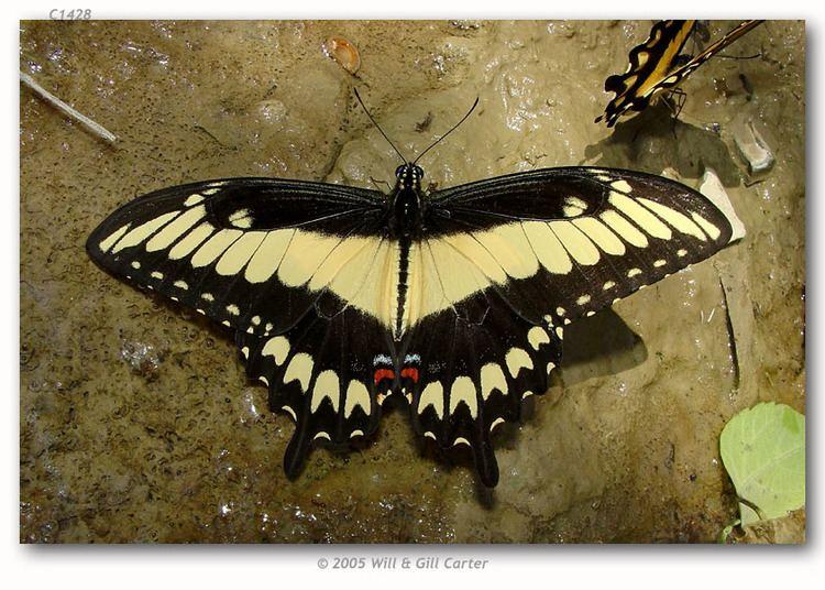 Sưu tập Bộ cánh vẩy 2 - Page 61 Papilio-astyalus-b794ffaa-1819-4035-bb1a-2905c482d9b-resize-750