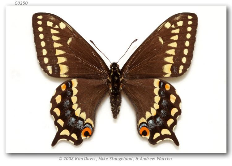 Papilio brevicauda Papilio brevicauda bretonensis McDunnough 1939