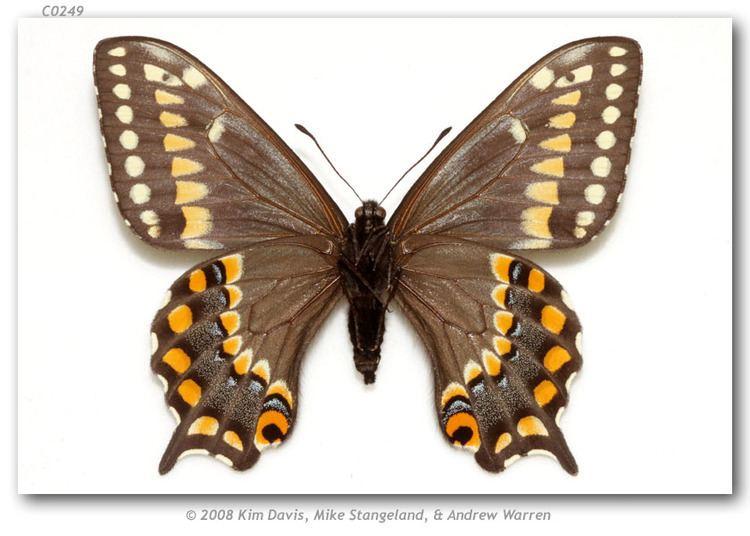 Papilio brevicauda Papilio brevicauda bretonensis type specimens