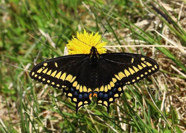 Papilio brevicauda Observations of Shorttailed Swallowtail Papilio brevicauda