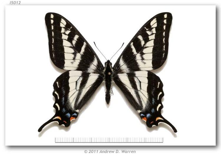 Papilio eurymedon Papilio eurymedon Lucas 1852 1805