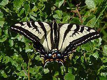 Papilio eurymedon httpsuploadwikimediaorgwikipediacommonsthu