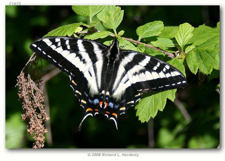 Papilio eurymedon Papilio eurymedon live adults page 2
