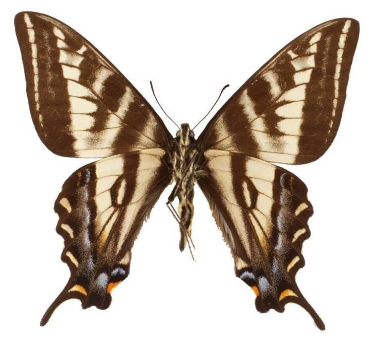 Papilio eurymedon ButterflyCornernet Papilio eurymedon Pale Tiger Swallowtail