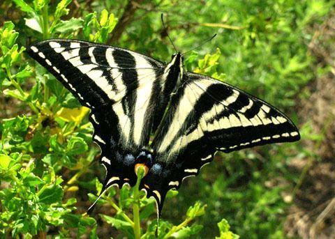 Papilio eurymedon Pale Swallowtail butterfly