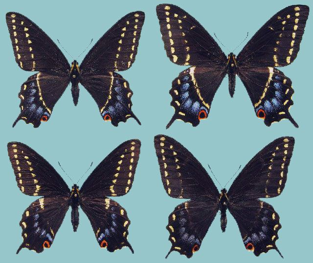 Papilio indra Papilio indra minori Raising ButterfliesHow to find and care for