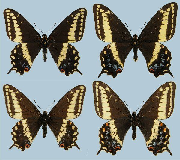 Papilio indra Papilio indra calcicola Raising ButterfliesHow to find and care