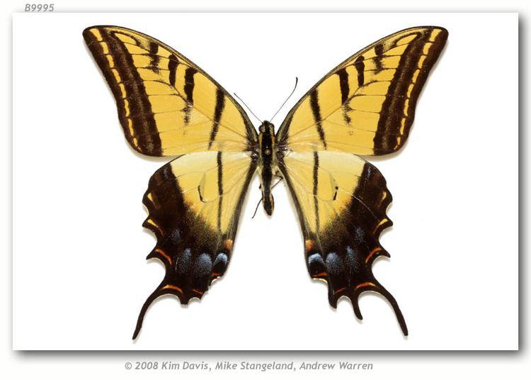 Papilio multicaudata Papilio multicaudata grandiosus type specimens