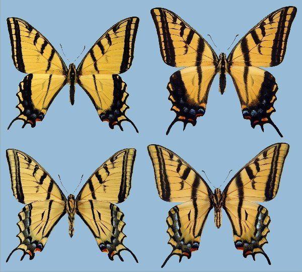 Papilio multicaudata wwwraisingbutterfliesorgstoragePmultipusillu