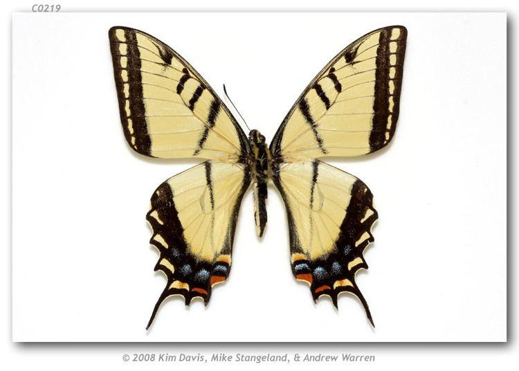 Papilio multicaudata Papilio multicaudata pusillus Austin amp J Emmel 1998