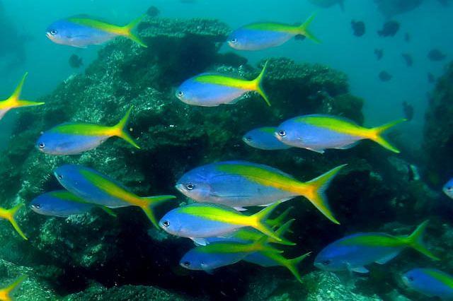 Paracaesio xanthura fishesofaustralianetauImagesImageParacaesioXa